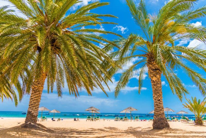 Drzewka palmowe na plaży w Lesie Teresitas Tenerife zdjęcia royalty free