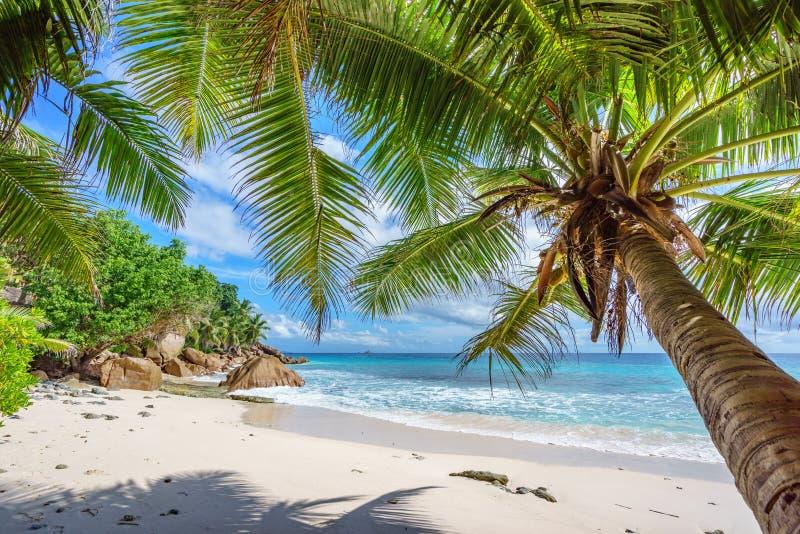 Drzewka palmowe na raju wyrzucać na brzeg przy anse patates, losu angeles digue, Seychelles 1 zdjęcie stock