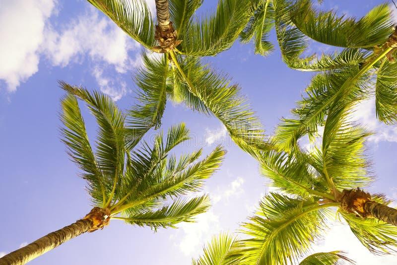 Drzewka Palmowe w Floryda obraz royalty free