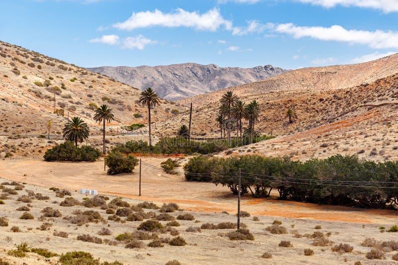 Drzewka palmowe w Fuerteventura zdjęcie stock