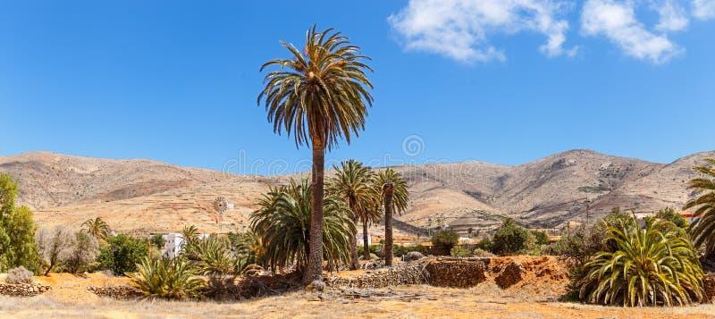 Drzewka palmowe w Fuerteventura obraz stock