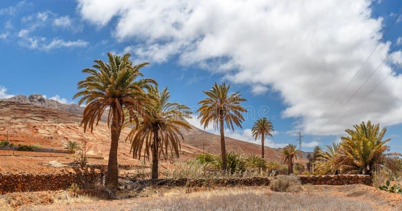 Drzewka palmowe w Fuerteventura obraz royalty free