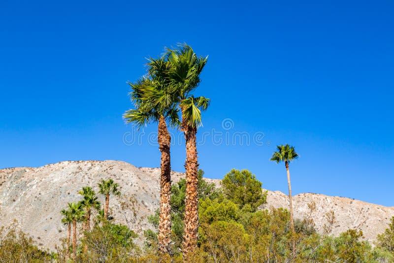 Drzewka Palmowe w kalifornijczyk pustyni fotografia stock