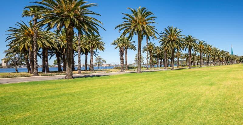 Drzewka palmowe w Langley parku wzdłuż Łabędziej rzeki w Perth mieście obrazy royalty free