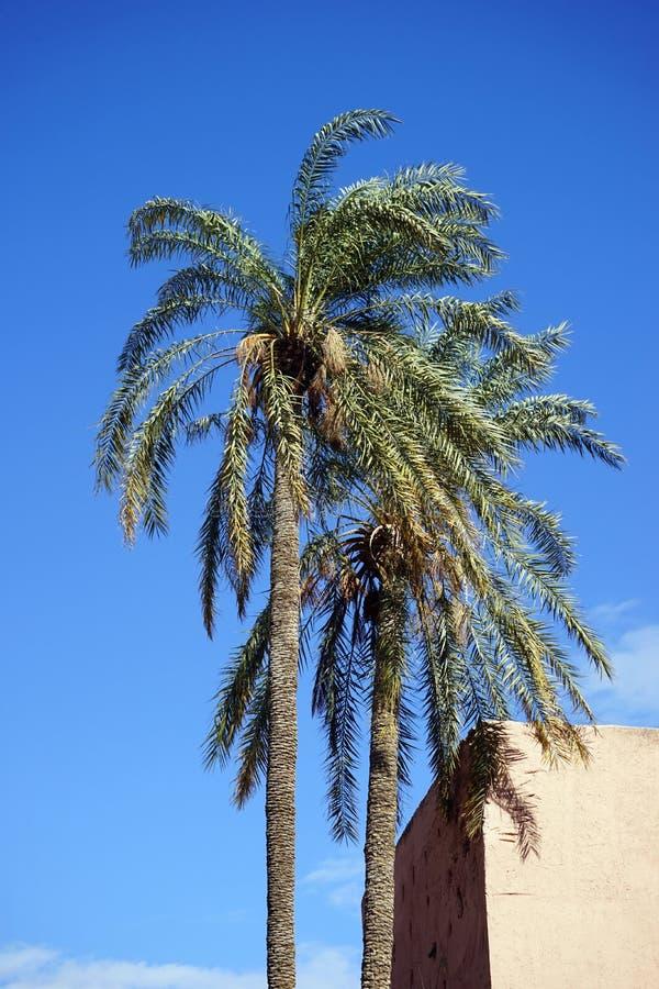 Drzewka palmowe w Maroko obrazy royalty free