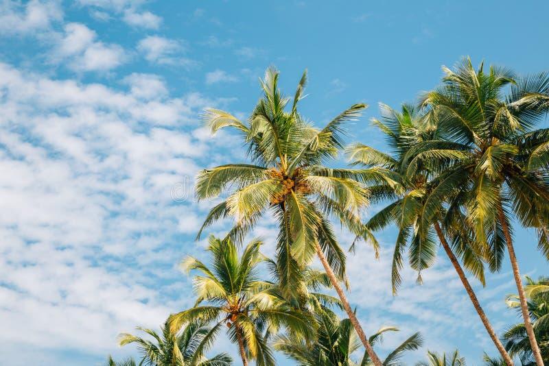 Drzewka palmowe w Palolem plaży, Goa, India fotografia royalty free