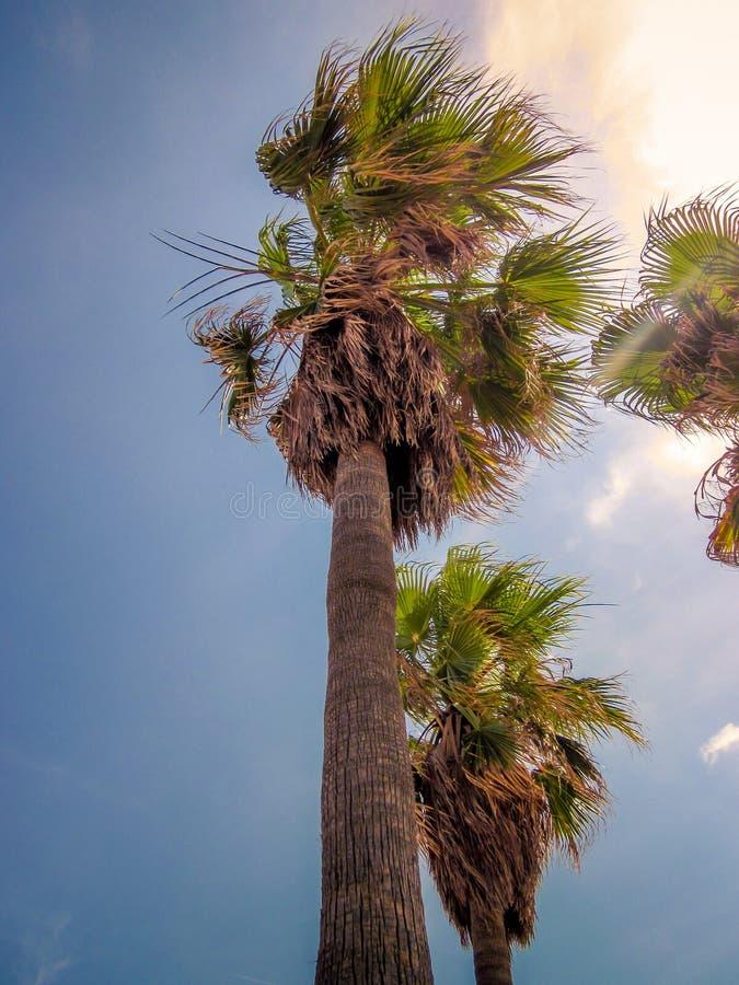 Drzewka palmowe w wiatrze obrazy royalty free