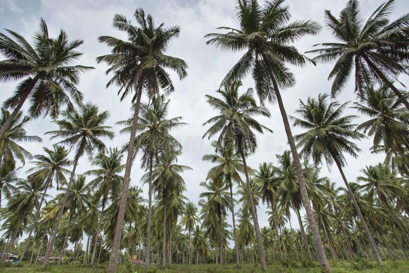 Drzewka palmowe z koksem pod niebieskiego nieba tłem fotografia royalty free