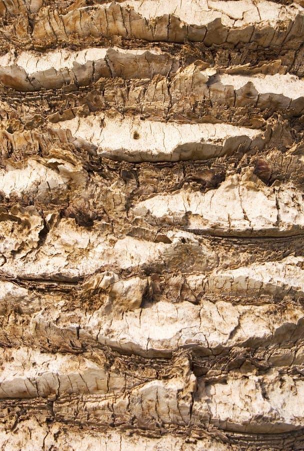 Drzewka palmowego cortex fotografia royalty free