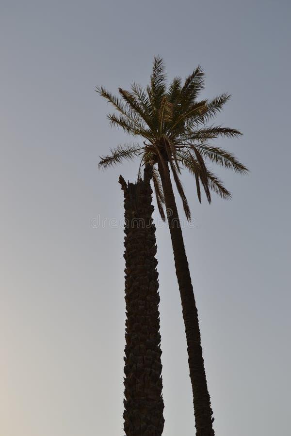 Drzewka palmowego stać pionowy, niezależnie od łamanego kamrata zdjęcie royalty free