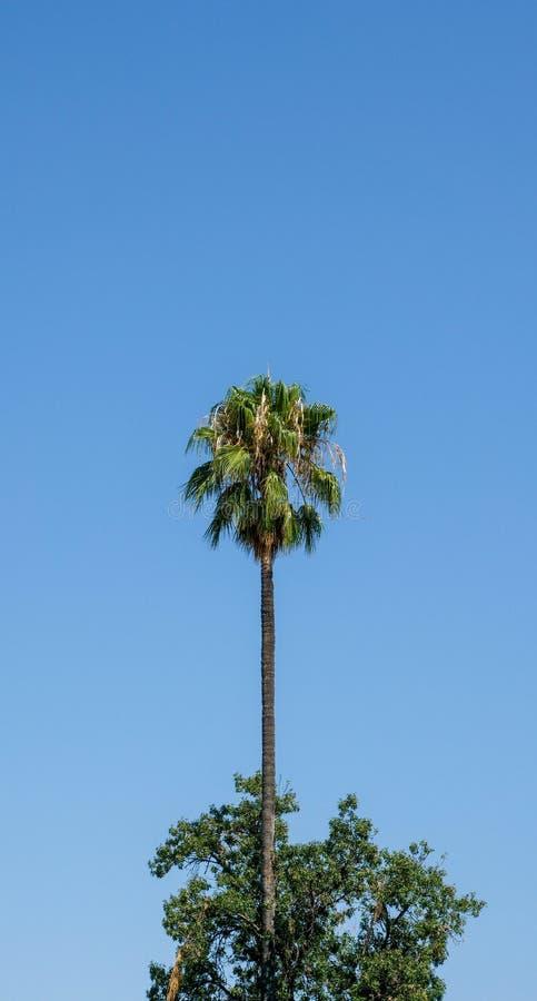 Drzewka palmowego stać wysoki zdjęcia stock