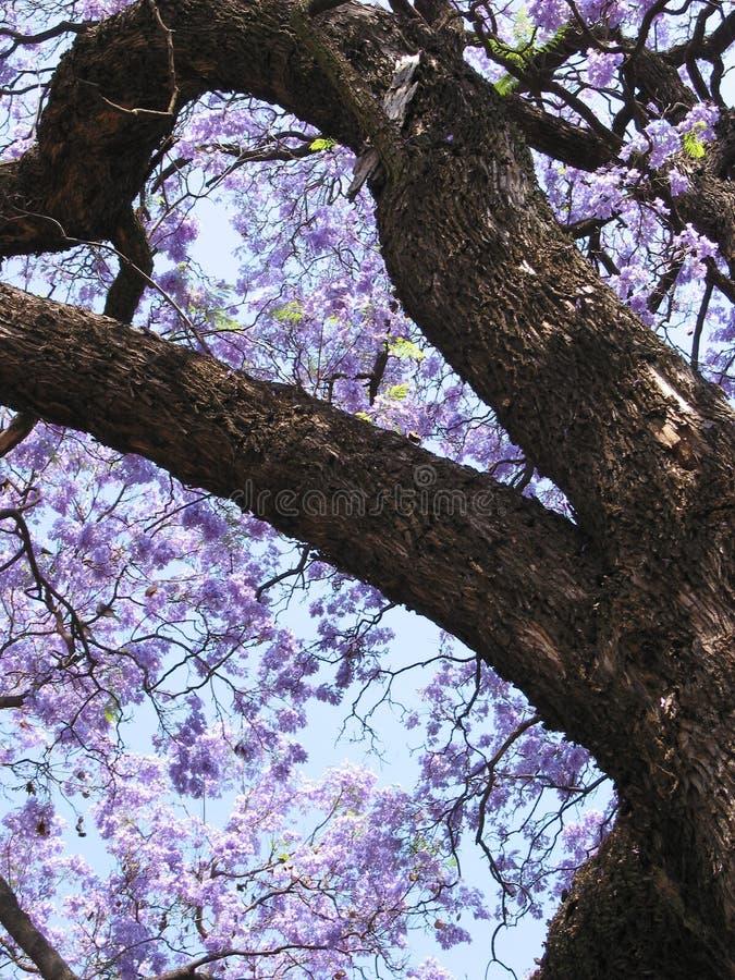 Download Drzewko jacaranda zdjęcie stock. Obraz złożonej z duży - 138348