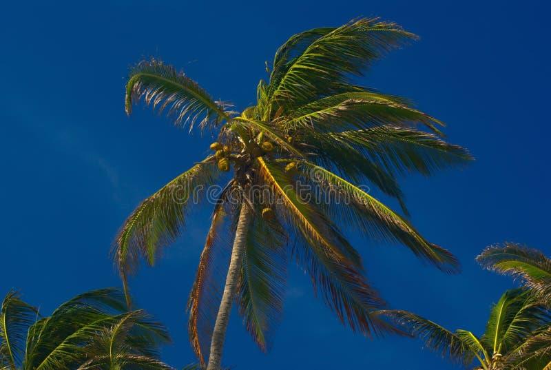 Download Drzewko palmowe zdjęcie stock. Obraz złożonej z koks - 16594548