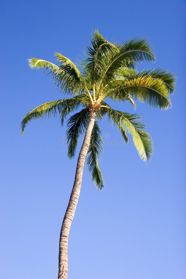 Download Drzewko Palmowe Zdjęcie Stock - Obraz: 6603570