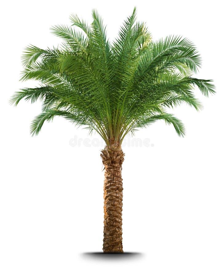drzewko palmowe zdjęcie stock