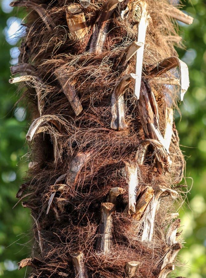 Drzewko palmowe bagażnik jako tło obrazy royalty free