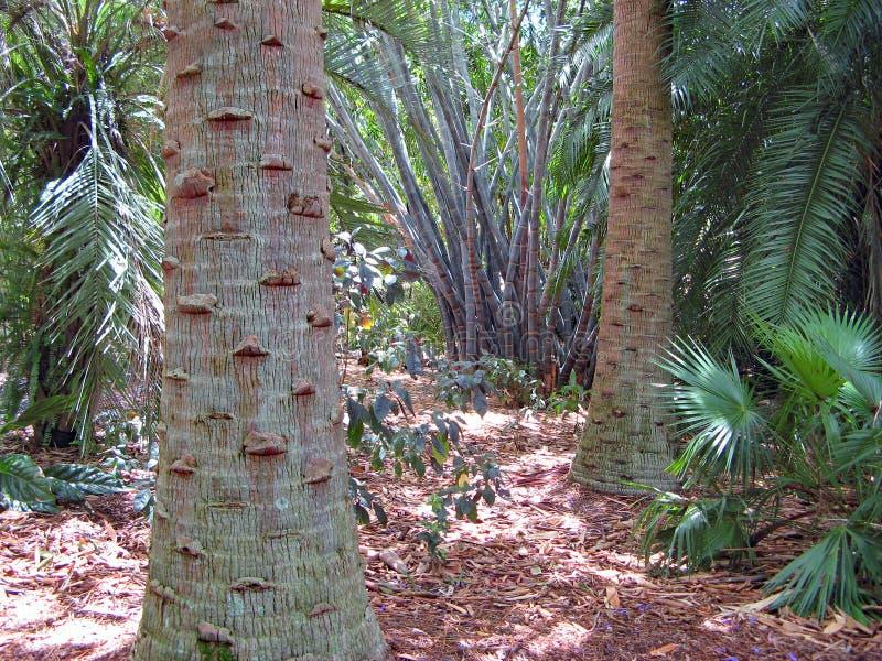 Drzewko palmowe bambus w tropikalnym ogrodowym położeniu i bagażniki zdjęcie royalty free