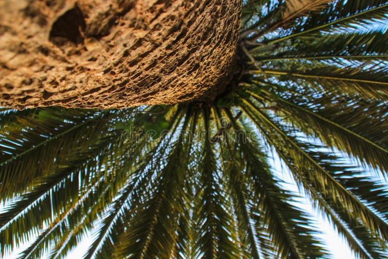 Drzewko palmowe barkentyna z liśćmi przeciw jaskrawemu niebu i bagażnik fotografia royalty free