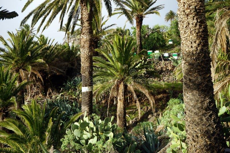 Drzewko palmowe gaj fotografia stock