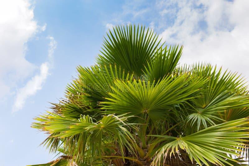 Drzewko palmowe liście obraz stock