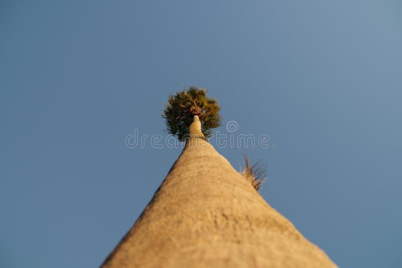 Drzewko Palmowe Od bazy obraz stock