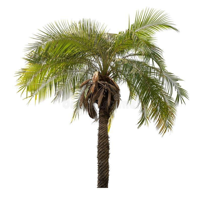 Drzewko palmowe odizolowywający zdjęcia royalty free