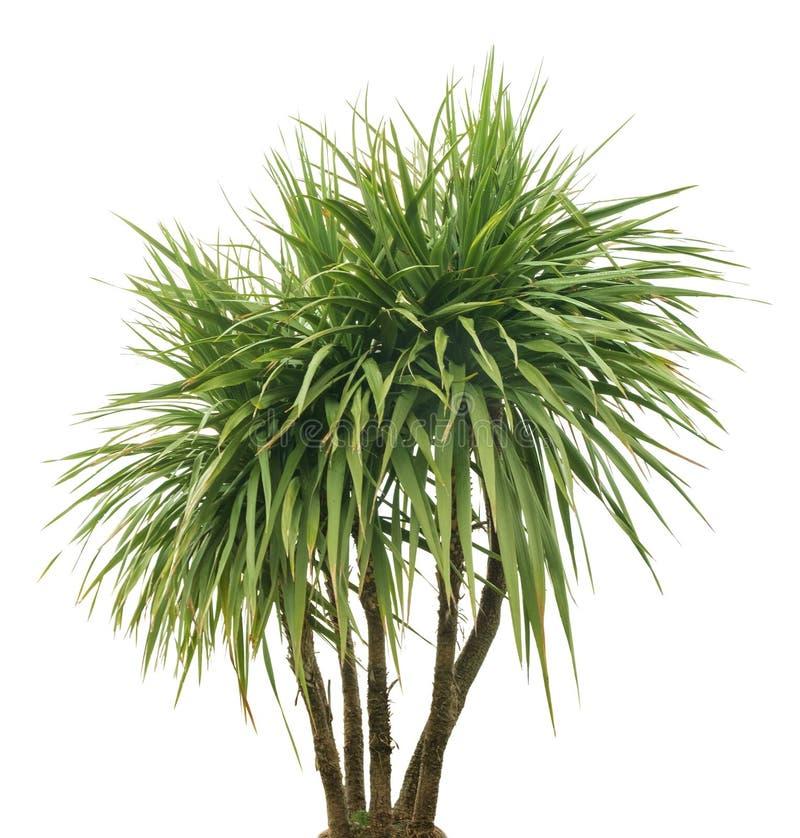 Drzewko palmowe, odizolowywający zdjęcie stock