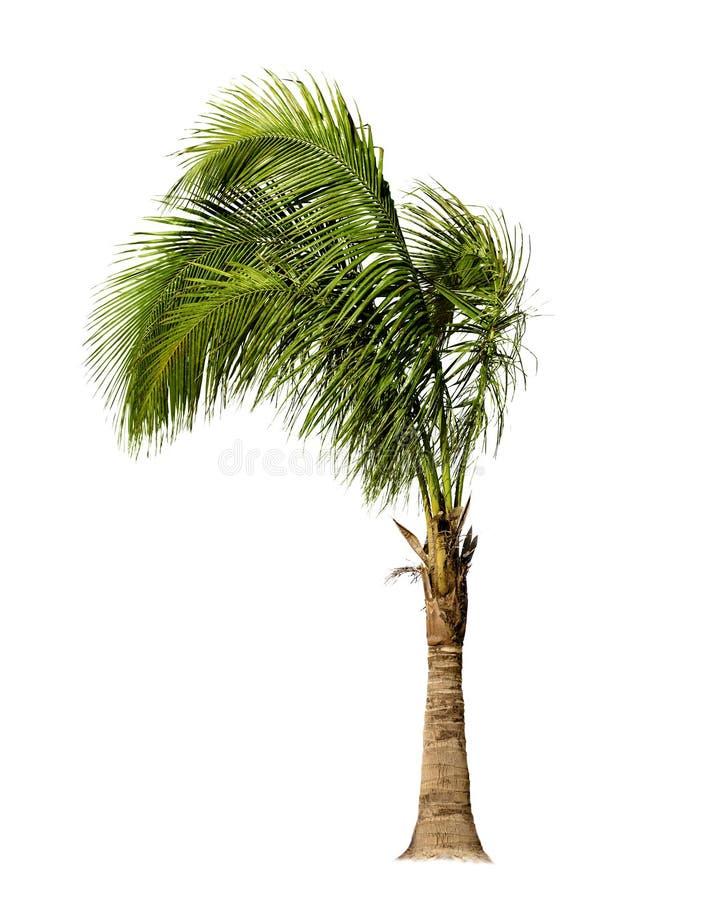 Drzewko Palmowe Odizolowywający obraz royalty free