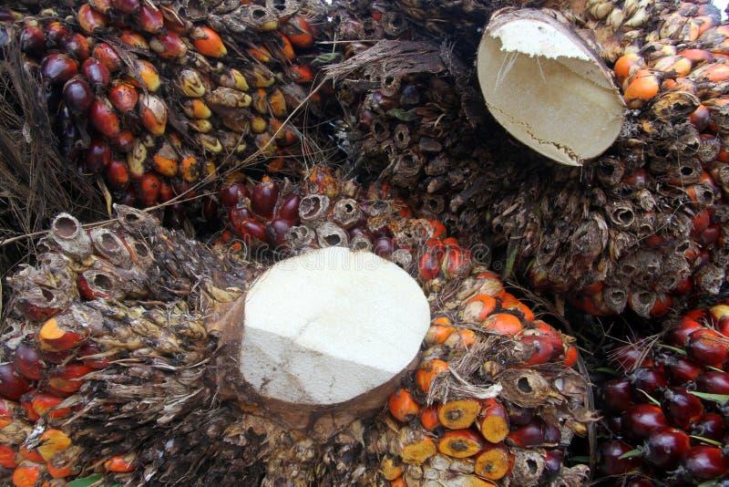 Drzewko palmowe owoc obraz stock