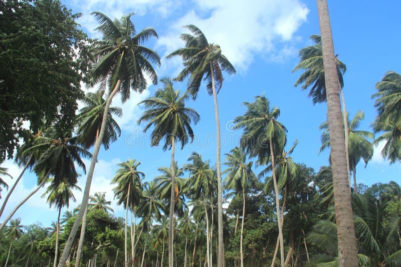 Drzewko Palmowe przy Ross wyspą zdjęcia royalty free