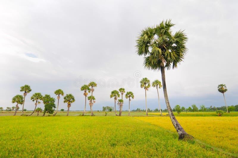 Drzewko palmowe rząd i ryżu pole obraz stock