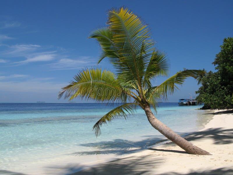 Drzewko Palmowe w Maldives obraz stock