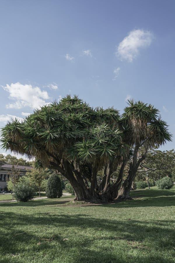 Drzewko palmowe w parku obrazy royalty free