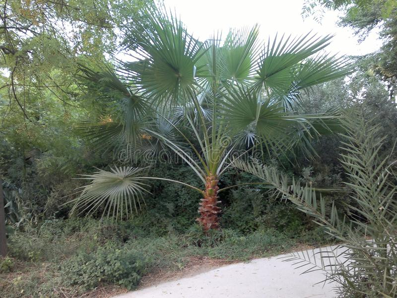 Drzewko palmowe w parku, Dubaj, UAE zdjęcie stock