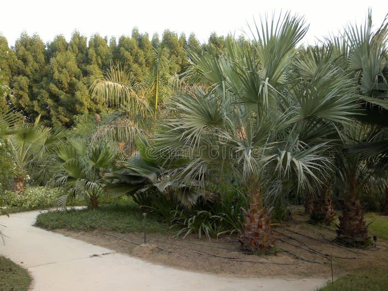 Drzewko palmowe w parku, Dubaj, UAE obrazy stock
