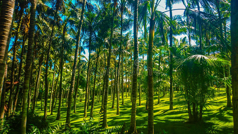 Drzewko palmowe w Tenerife przy Loro parque fotografia royalty free