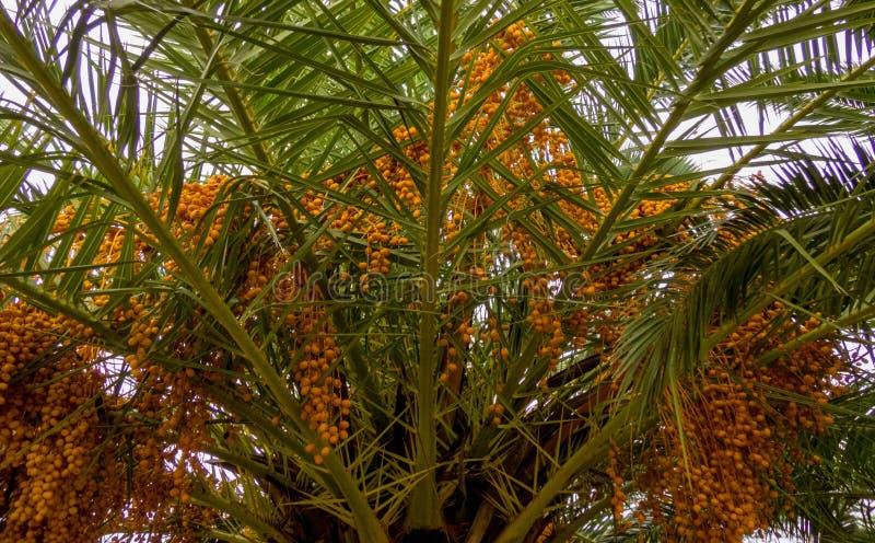 Drzewko palmowe z datami w ogródzie zdjęcia royalty free