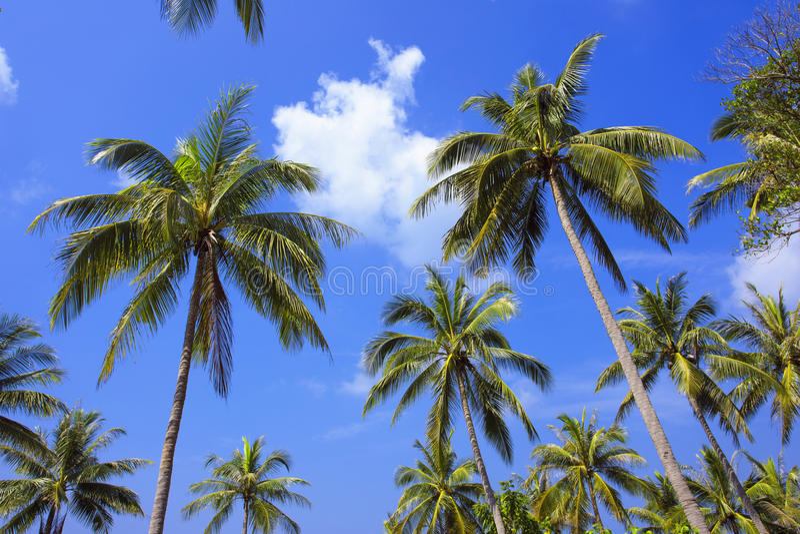 Drzewko palmowe z słonecznym dniem Tajlandia Koh Samui wyspa obrazy royalty free