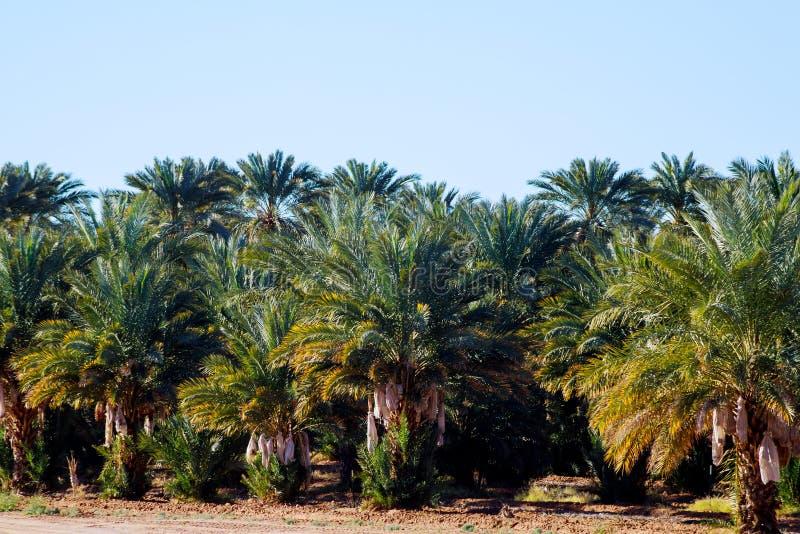Drzewko palmowe zamknięty w górę zadziwiającej natury w Arizona obrazy stock