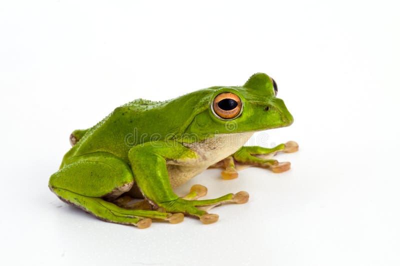 Drzewna żaba obrazy royalty free