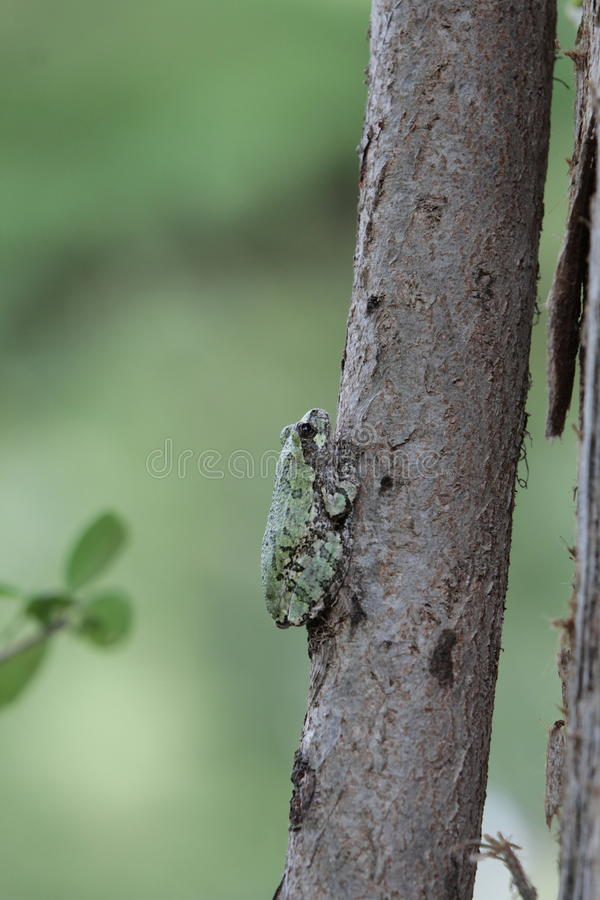 Drzewna żaba obrazy stock