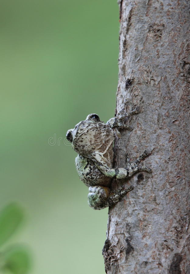 Drzewna żaba zdjęcie royalty free