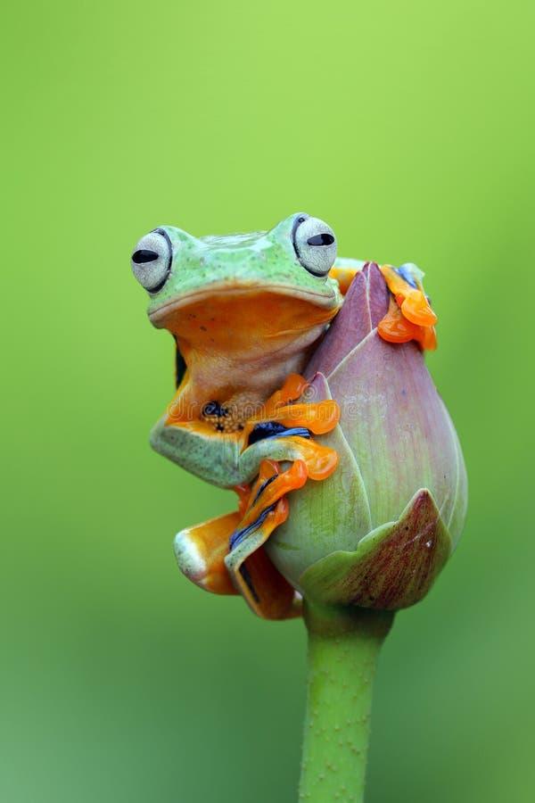 Drzewna żaba, Latająca żaba na lotosowym pączku zdjęcia stock