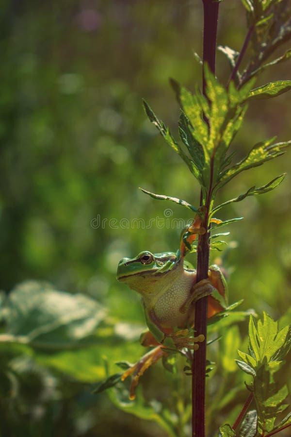 Drzewna żaba na roślina badylu zdjęcie royalty free