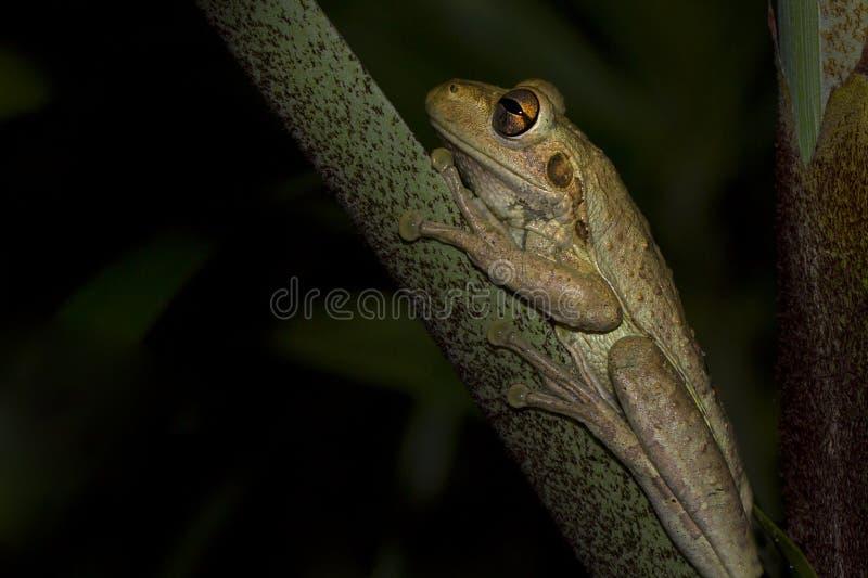 Drzewna żaba Odpoczywa W zmroku fotografia royalty free