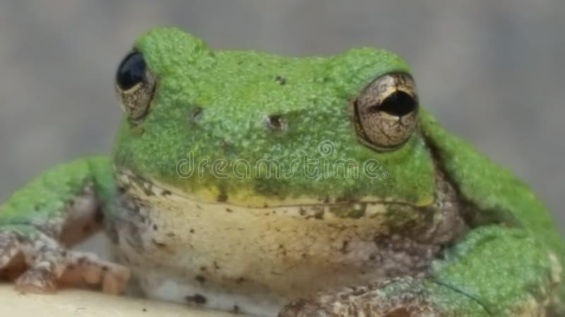 Drzewna żaba w ranku zdjęcia stock