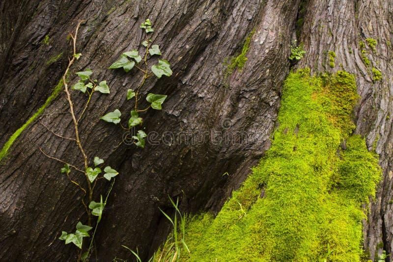 Drzewna barkentyna, winograd i mech, zdjęcie stock