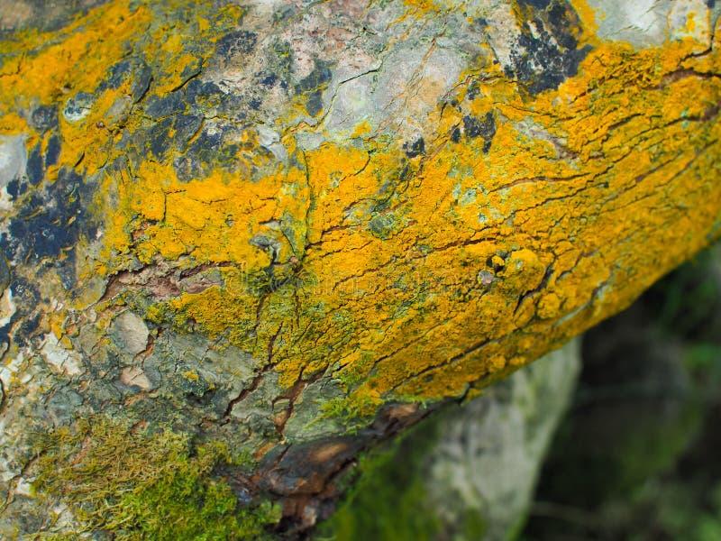 Drzewna barkentyna z żółtym mech gałąź i nazwa użytkownika zielony las fotografia stock