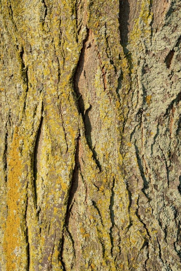 Drzewna barkentyna z Złocistym koloru żółtego i zieleni mech zdjęcia stock