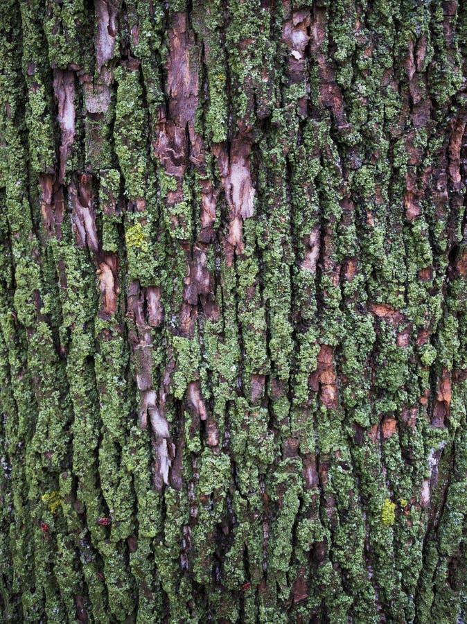 Drzewna barkentyna z zielonym brzmieniem zdjęcie royalty free